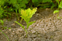 Малый росток дуба, пусканный ростии от жолудя. Стоковая Фотография RF