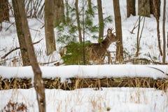 Малый самец оленя в зиме Стоковое Фото