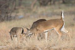 Малый самец оленя пахнуть задним концом лани Стоковая Фотография