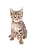 Малый серый взгляд котенка на камере изолированной на белой предпосылке стоковая фотография