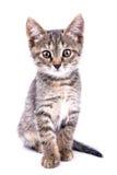 Малый серый взгляд котенка на камере изолированной на белой предпосылке стоковое изображение rf