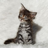 Малый серый котенок енота Мейна на белой предпосылке Стоковые Изображения