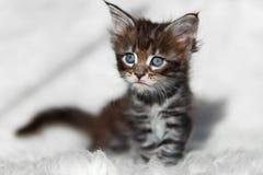Малый серый котенок енота Мейна на белой предпосылке Стоковое Изображение RF