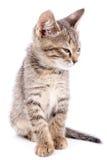 Малый серый котенок моргнул изолированный на белой предпосылке стоковое фото