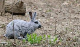 Малый серый кролик в лесе Стоковое фото RF