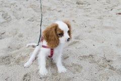 Малый симпатичный щенок на песке Стоковая Фотография