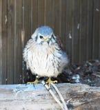 Малый сокол, птица Стоковые Фотографии RF