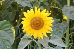малый солнцецвет Стоковое Фото