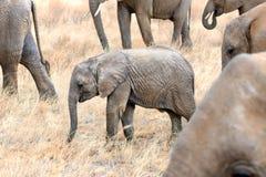 Малый табун африканских слонов Стоковая Фотография RF