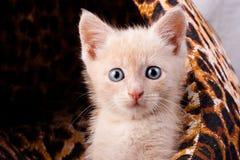 Малый удивленный котенок Стоковое Изображение RF