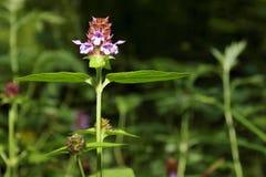 Малый фиолетовый полевой цветок среди зеленой травы Стоковые Фотографии RF