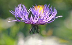 Малый фиолетовый полевой цветок Стоковые Изображения