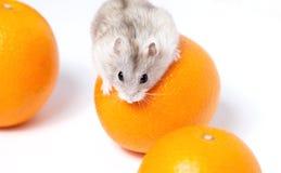 Малый хомяк Djungarian с апельсинами Стоковое Изображение