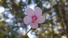 Малый цветок гибискуса Стоковое фото RF