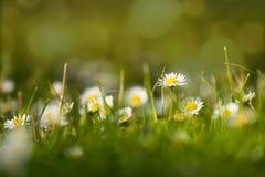 Малый цветок маргаритки на зеленом цвете Стоковые Фотографии RF