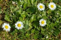 Малый цветок маргаритки Стоковые Фотографии RF