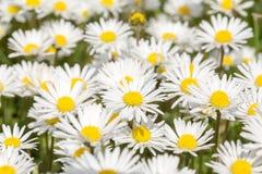 Малый цветок маргаритки Стоковые Изображения