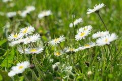 Малый цветок маргаритки Стоковое Изображение RF
