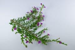 Малый цветок ложного вереска Стоковое фото RF