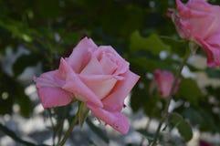 Малый цветок поднял Стоковое фото RF