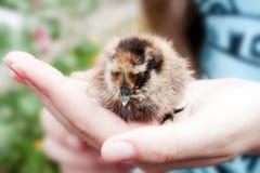Малый цыпленок в его руках стоковые фотографии rf