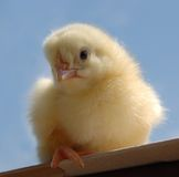 Малый цыпленок Стоковые Фото