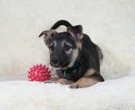 Малый черный и желтый щенок лежа рядом с шариком на софе меха стоковые фото