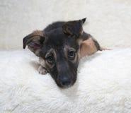 Малый черный и желтый щенок лежит на софе меха стоковые изображения