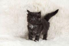 Малый черный котенок енота Мейна представляя на белом мехе предпосылки Стоковое Изображение