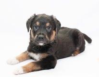 Малый черный щенок с коричневыми пятнами смотрит добросердечно стоковое фото rf