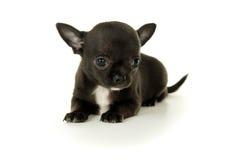 Малый черный щенок чихуахуа стоковые изображения rf