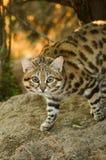 Малый черный Footed кот (negripes кошки) Стоковое Изображение RF
