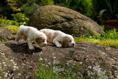 Малый чистоплеменный английский щенок Spaniel кокерспаниеля 2 Стоковые Изображения RF