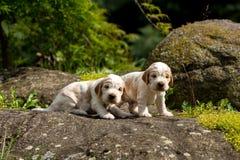 Малый чистоплеменный английский щенок Spaniel кокерспаниеля 2 Стоковое Фото
