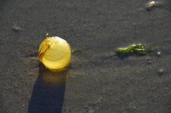 Малый шарик келпа подсвеченный последним солнцем Стоковое Изображение RF