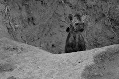 Малый щенок гиены играя вне своего преобразования вертепа художнического Стоковое Изображение RF