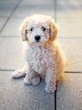 Малый щенок пуделя игрушки сидя на серых плитках Стоковая Фотография