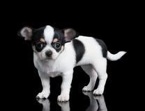 Малый щенок чихуахуа стоит на черной предпосылке Стоковое фото RF