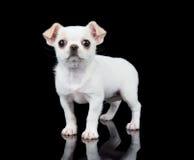 Малый щенок чихуахуа Стоковое Изображение RF