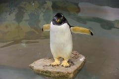 Малый fairy пингвин Стоковая Фотография