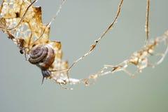 Малый gastropod на взбираясь путешествии в сухих лист, backg метафоры Стоковая Фотография RF