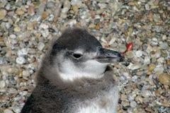 Малый magellan пингвин Стоковые Изображения