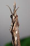 Малый mantis Стоковые Изображения RF