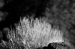 Малый spiky округленный безлистный кустарник Стоковые Изображения RF