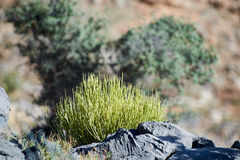 Малый spiky округленный безлистный кустарник Стоковые Фотографии RF
