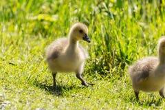 2 малых зелёного юнца 2 гусыни Стоковое Фото