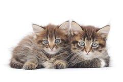 2 малых котят Стоковое Изображение RF