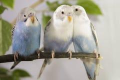 3 малых попугая сидя на ветви дерева Стоковые Изображения