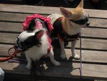 2 малых собаки чихуахуа одетой с солнечными очками Стоковое фото RF
