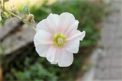 Мальва Flower2 Стоковое Изображение RF
